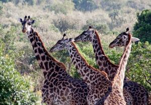 Giraffes on the Maasai Mara