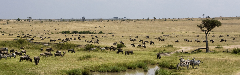Wildebeest entering the Maasai Mara in late July