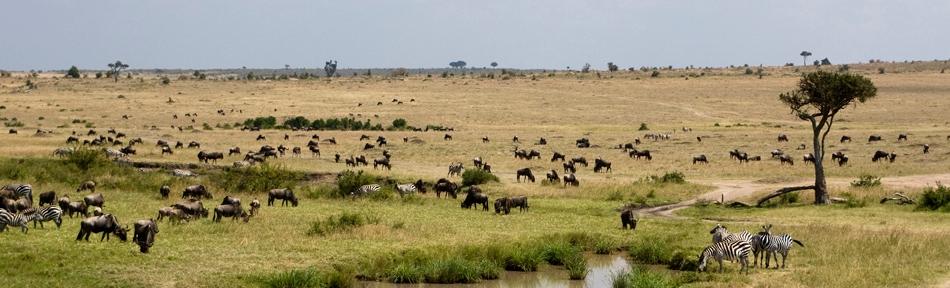 Wildebeest entering the Maasai Mara in late July