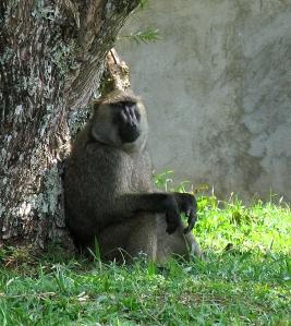 baboon3649
