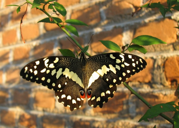 christmas butterfly2