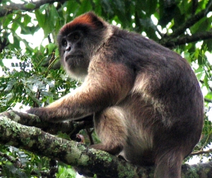 Red colobus 3182