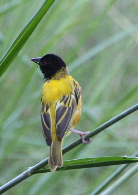 Yellow-backed weaver