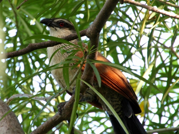 White-browned Coucal