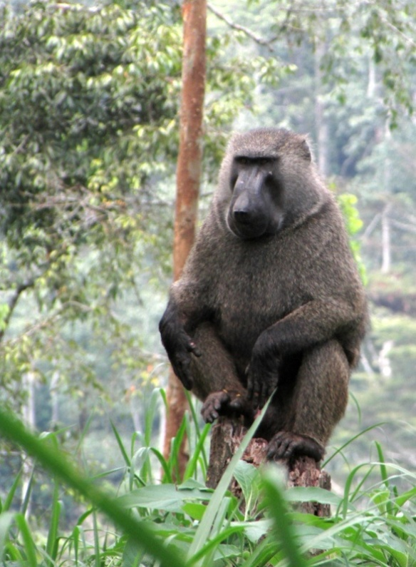 Baboon in Kibale Forest