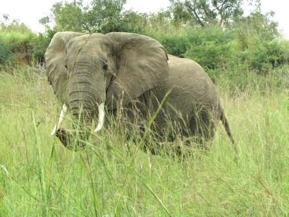 Elephant at Murchison Park