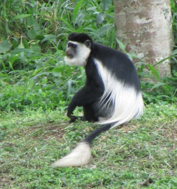 Black and white Colobus monkey in Kibale Forest.