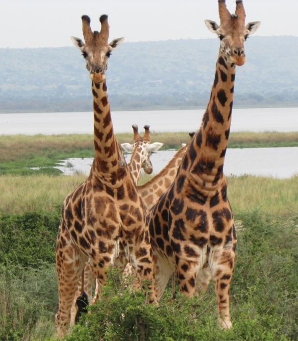 Giraffes by Lake Albert