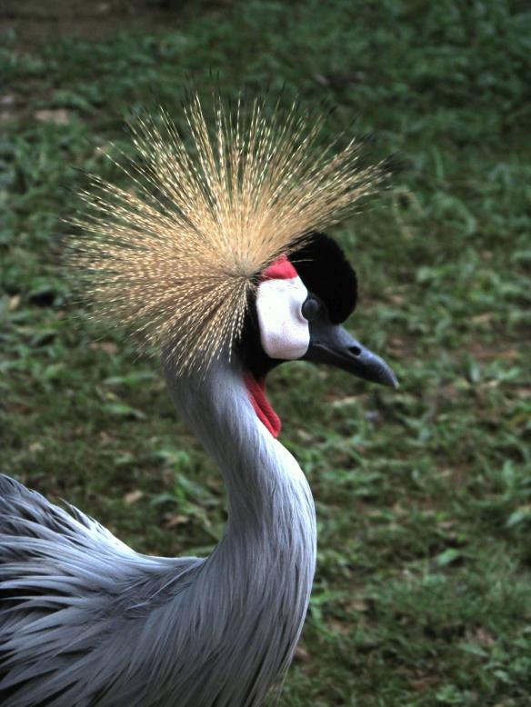 Crowned Crane at Ziwa. Uganda's national bird.