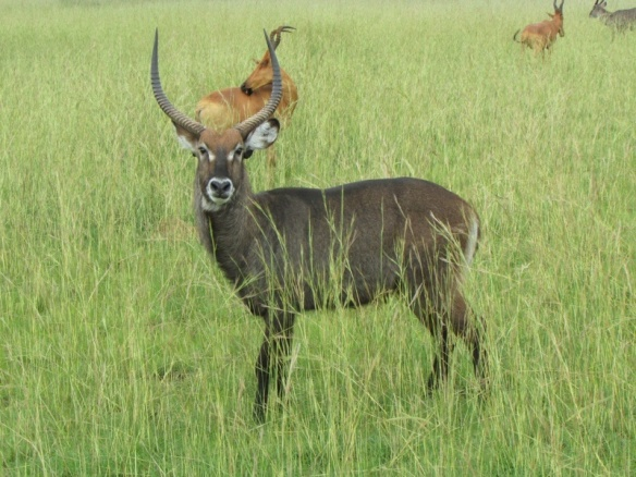 Waterbuck in Murchison Park