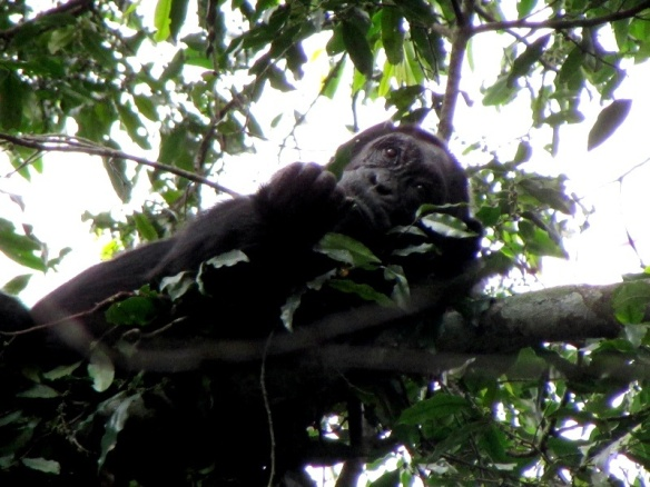 Chimp in Kibale Forest