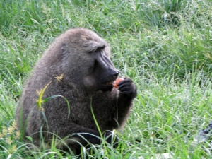On our first morning in a cabin by Kibale Forest,this big baboon boldly came in through our back door and grabbed  bag containing a dozen eggs.  Our breakfast became his.