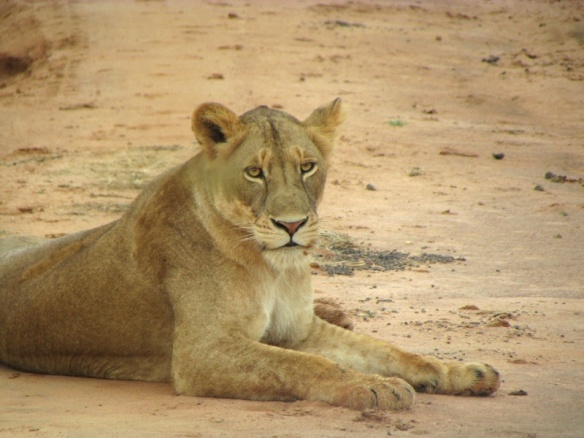 Young female lion in Murchison Park