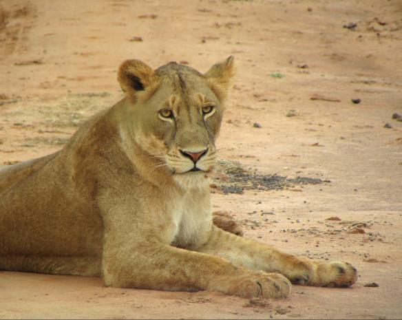 Lion 2_filtered