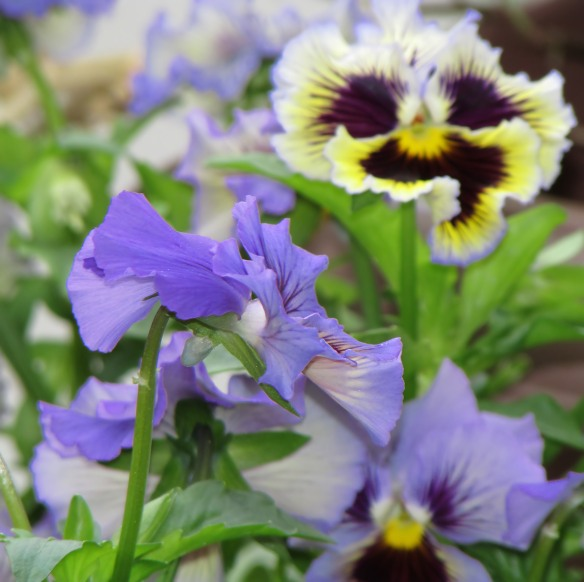 Pansy_filtered