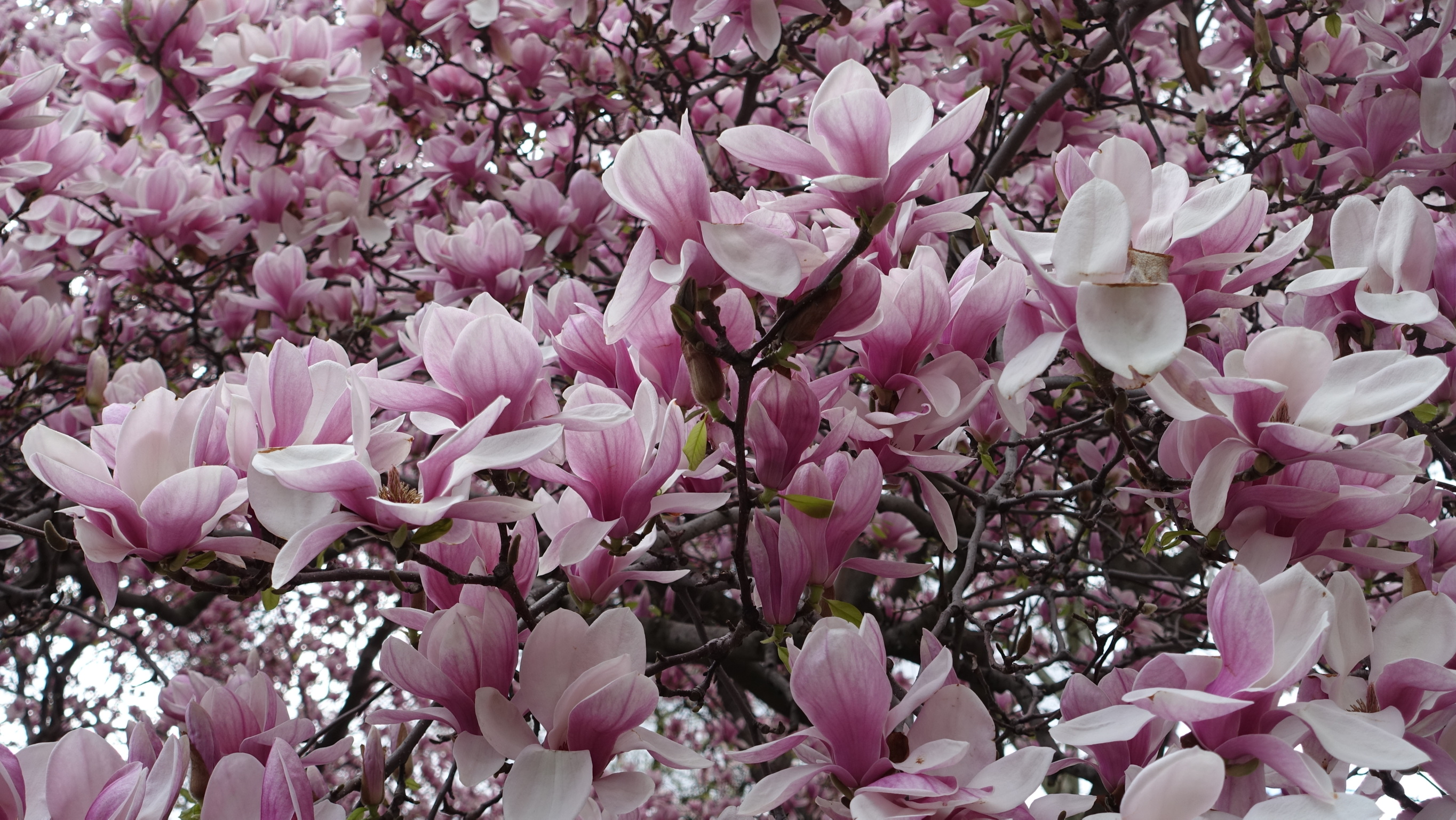 Spring in New York City – A Trilogy – #1 Spring Flowers | johnageddes